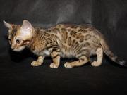 Котята бенгальские из питомника