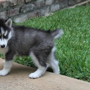 Сибирский хаски щенки Красивая
