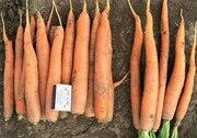 Продам морковь на переработку - 600 тонн на экспорт