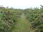 Продам саженцы черноплодной рябины из Польши