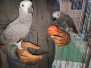африканские серые попугаи для продажи